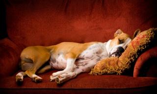 dog-adoption-big-dog-on-couch
