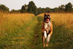 boxer-dog-running-happily-through-field-stephanie-mcdowell
